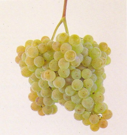 Festa do Vinho Novo quer contornar a crise com promoção do Alvarinho