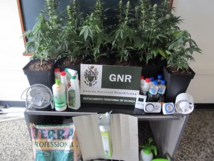 GNR apreende plantação de canábis em Valença