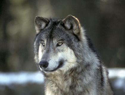 População promove abaixo-assinado exigindo indemnizações compensatórias pelos ataques de lobos