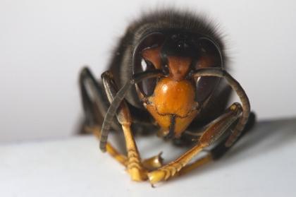 CDOS inica trabalhos de remoção de ninho de vespa asiática na sede de Junta de Sá
