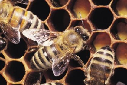 Monção: Enxame de abelhas mata sexagenário