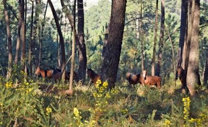 Monção: Equinos à solta nos montes foram sujeitos a recolha e identificação