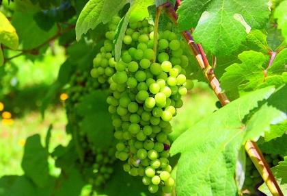 Vinhos Verdes apresentam-se pela primeira vez no mercado sueco