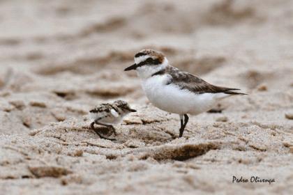 Caminha: Praia de Moledo recebe ação de sensibilização sobre o 'Borrelho de Coleira Interrompida'